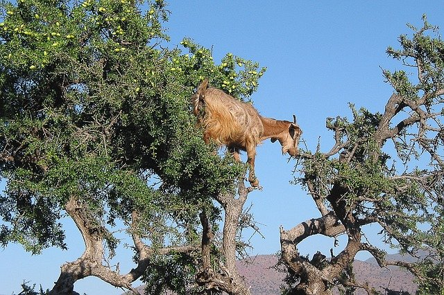 koza na stromě