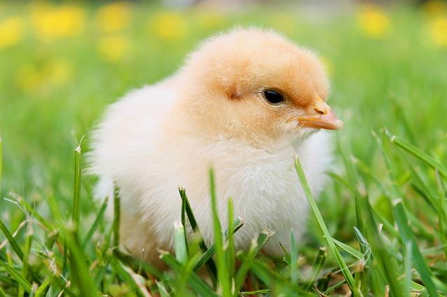 kuřátko na trávě