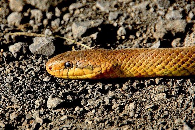 hlava hada